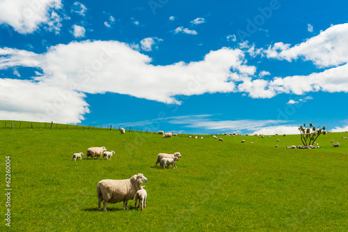 Tuinposter Nieuw Zeeland Sheep in the New Zealand