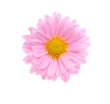 Pink flower isolated on white. Top view.