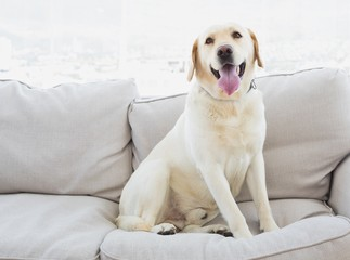 Yellow labrador sitting on the couch