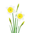 White and yellow narcissus isolated on white