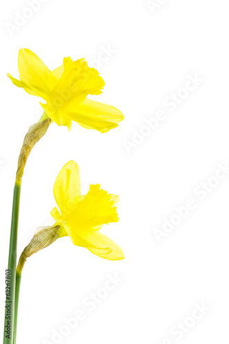 Yellow daffodil with papery spathe.