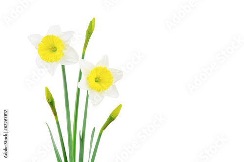 Staande foto Narcis White and yellow narcissus isolated on white