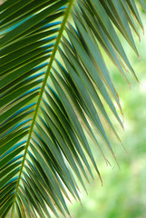 HOJA DE PALMERA. TROPICAL