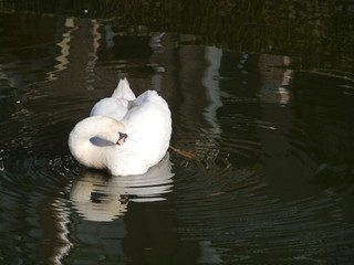 Portrait of a mute swan (cygnus olur) in a pool