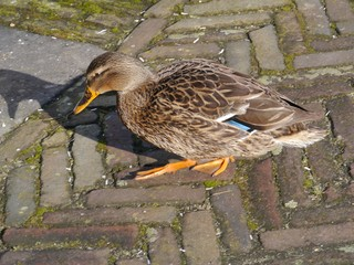 Female mallard (anas platyrhynchos) in the city