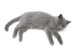 cat breed Scottish Straight isolated on a white background.