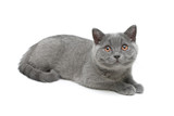 cat breed Scottish Straight on white background
