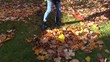 worker raking autumn dry tuliptree leaves in garden