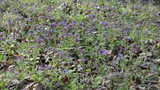 Pulmonaria Lungwort colorful forest flower blooms herb plant