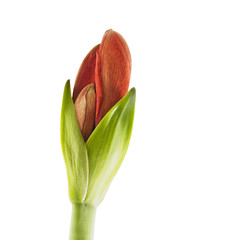 Budding Amaryllis over white