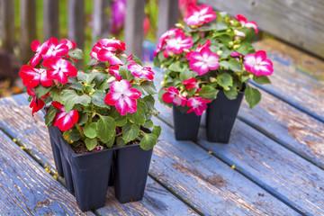 impatiens seedlings (Impatiens wallerana)