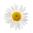 One daisy flower