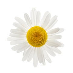 One daisy flower