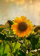 Sunflower on canvas
