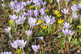 Springtime with Crocuses