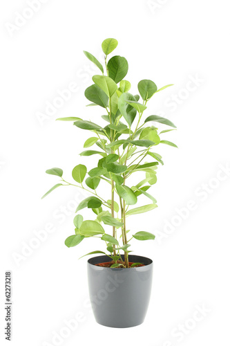 Plexiglas Bonsai Ficus tree