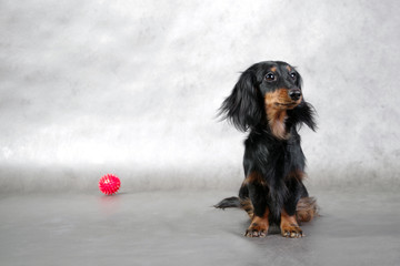 longhaired dachshund & red ball toy