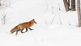 Red Fox (Vulpes vulpes) Runs Right