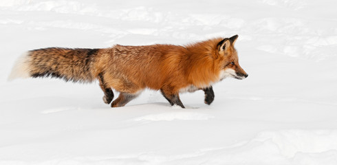 Red Fox (Vulpes vulpes) Stacks Right Through the Snow