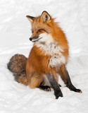 Red Fox (Vulpes vulpes) Sits in the Snow