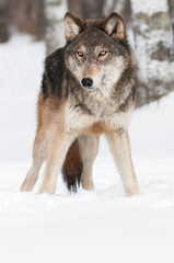 Grey Wolf (Canis lupus) Copy Space Bottom