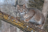 Bobcat (Lynx rufus) Crouches on Branch Looking Left