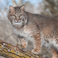 Bobcat (Lynx rufus) Stands on Branch Looking Right