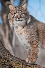 Bobcat (Lynx rufus) Stares from Tree