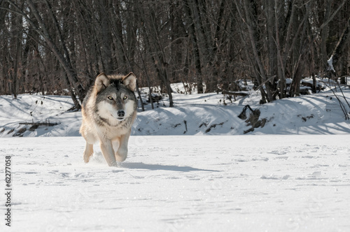 Grey Wolf (Canis lupus) Runs Along Snowy Riverbed