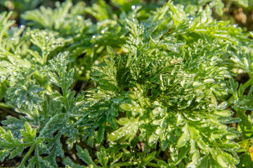 Dew drops on the green  leaves of a wormwood