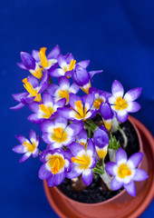 Early spring purple Crocus in the pot