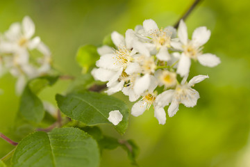Bird cherry, Prunus padus