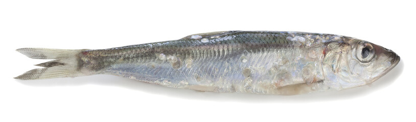 Atlantic herring, Clupea harengus isolated on white background
