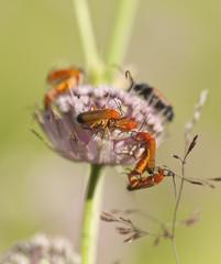 Solider beetles, Rhagonycha fulva mating on flower