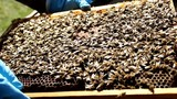 Beekeeping, Bees And Hives ,bees in apiary,beehive,Beekeeper