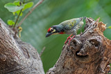 Coppersmith Barbet bird (Megalaima haemacephala)