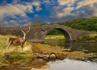 Red Deer stag stading by the Atlantic bridge