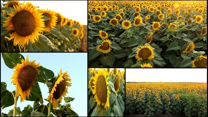 sunflower field multi split screen