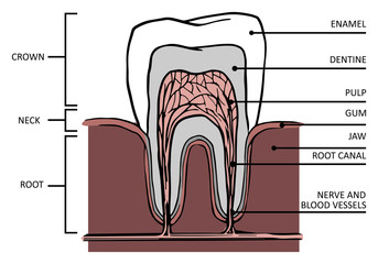 Tooth structure. Anatomy of teeth