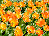 Tulip, garden floral design, decoration flowers, tulips