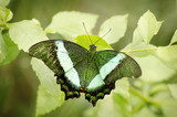 Green butterfly in nature background environment