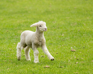 Cute lamb in meadow in New Zealand