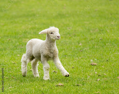 Sheep Cute lamb in meadow in New Zealand