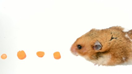 Hamster food trail