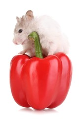 Cute hamster and pepper salad isolated white
