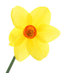 beautiful yellow daffodil isolated on white