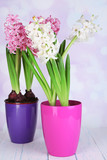 Hyacinth flowers in pots on table on bright background