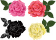 rose four colors isolated on white background