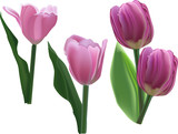 four pink tulip flowers on white
