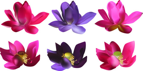 set of six lily flowers isolated on white background